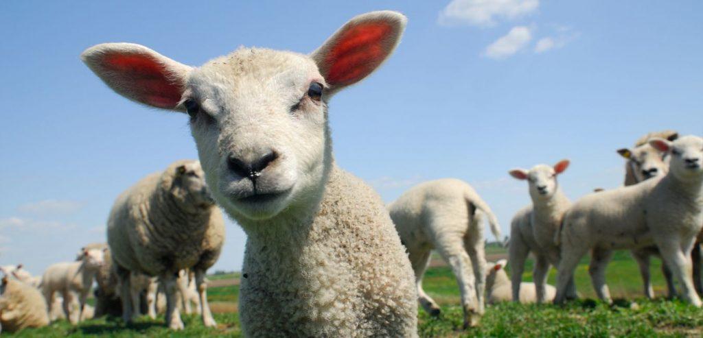 Neugier als Schlüssel zum Erfolg, Schaf
